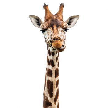 muursticker giraffe kinderkamer babykamer dieren echt